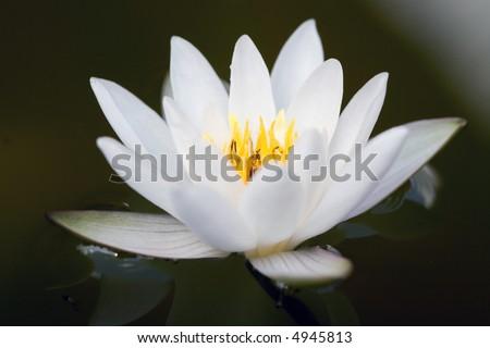 Macro of a beautiful waterlily - stock photo
