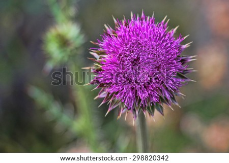 Macro of a bright, purple thistle flower.