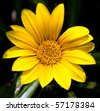 Macro of a bright yellow flower with dark background with detail - stock photo