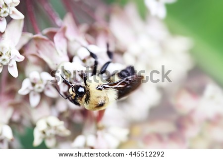 Macro of a bumble bee feeding from the blossoms of a milkweed plant.  Extreme shallow depth of field. - stock photo