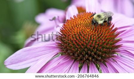 Macro of a bumblebee (bombus) resting on the paleae of a purple echinacea flower (Echinacea purpurea). - stock photo