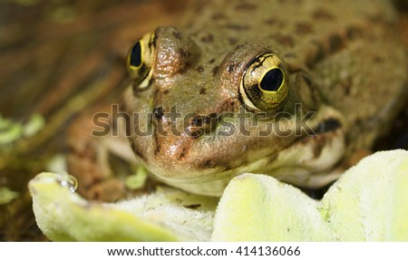 macro of a common frog with golden eyes