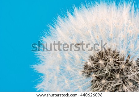 Macro of a dandelion flower seeds blowball - stock photo