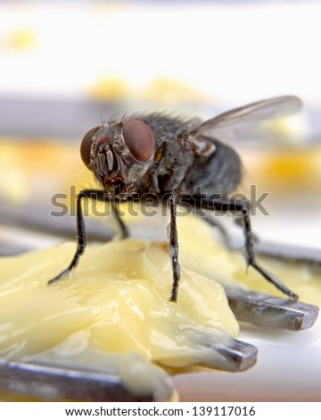 Macro of a Dirty House Fly on a Fork covered in Yellow Butter - stock photo