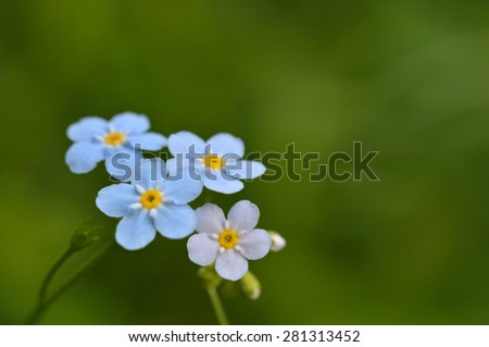 Macro of a forget-me-not flower.
