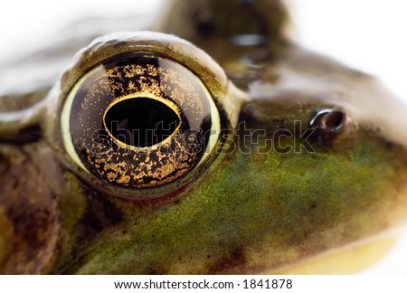 Macro of a green frog isolated on white background