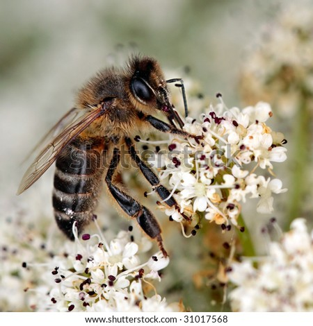 Macro of a honeybee in a meadow - stock photo