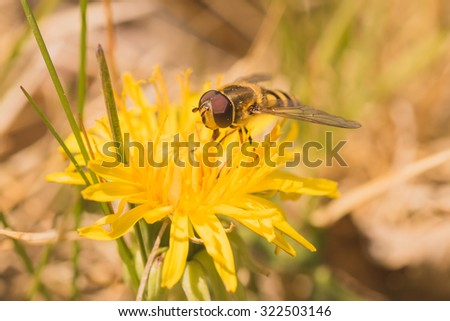 Macro of a hoverfly collecting pollen from a dandelion. - stock photo