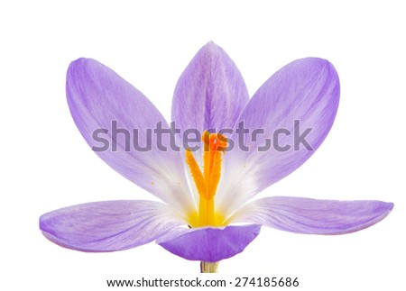 Macro of a isolated purple crocus flower - stock photo