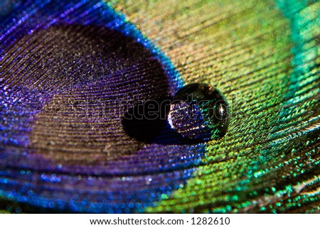 Macro of a peacock feather with a dew drop on it. - stock photo