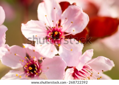 Macro of a pink almond blossom in spring, Germany - stock photo