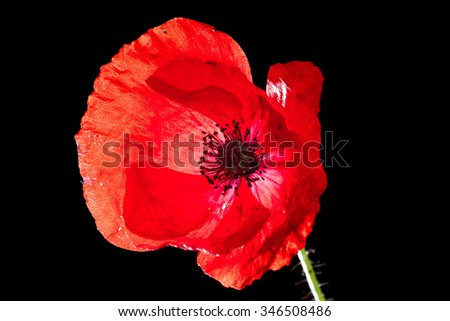 macro of a red poppy with soft texture over a black background
