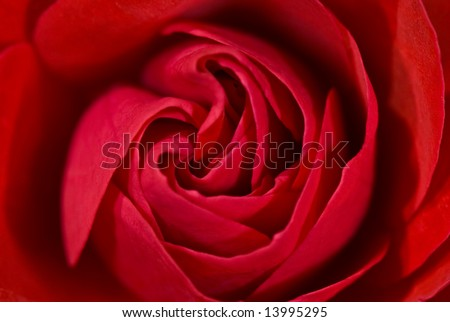 Macro of a rose blooming - stock photo