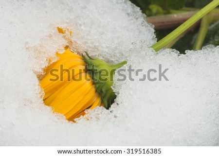 Macro of a snow covered chrysanthemum after an early autumn snow storm.
