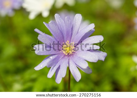 Macro of a violet wood anemone in spring - stock photo