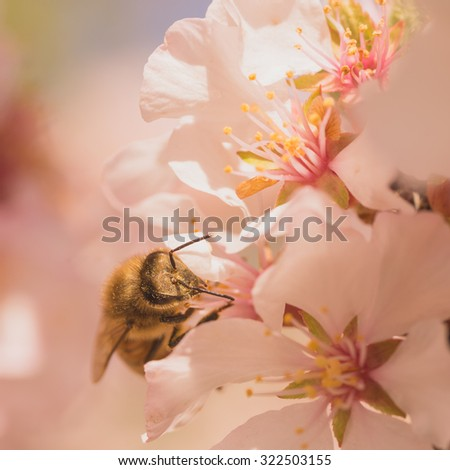 Macro of a worker bee gathering pollen from cherry blossoms.