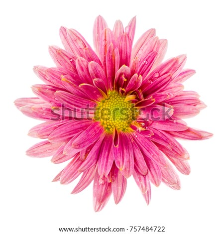 Macro of an beautiful isolated pink aster flower blossom
