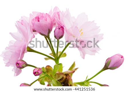 Macro of an isolated twig with pink cherry blossoms - stock photo