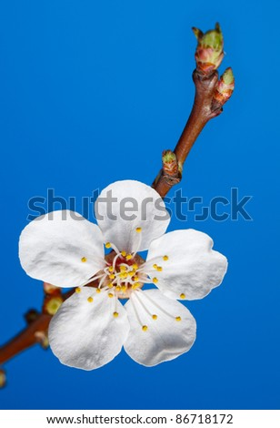 Macro of apricot tree bloom on twig over blue - stock photo