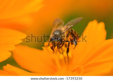 Macro of bee collecting pollen from stems