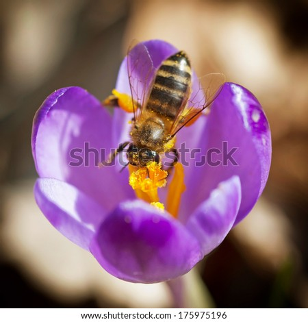 Macro of bee pollinate flower (Crocus heuffelianus) - stock photo