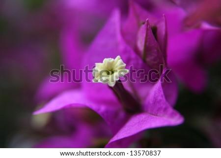 Macro of Bougainvillea Spectabilis blossom. - stock photo