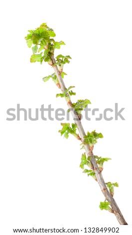 Macro of budding black currant (Ribes nigrum) brunch isolated on white - stock photo