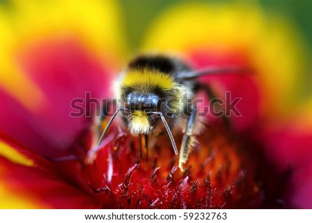 Macro of Bumble Bee on Red and Yellow Flower head on - stock photo
