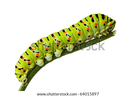 macro of butterfly larva climbing on twig isolated on white - stock photo
