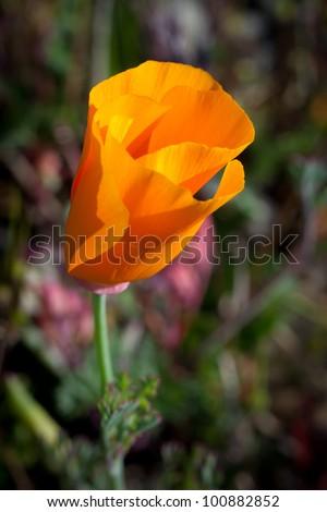 Macro of California Poppy Wildflower - stock photo