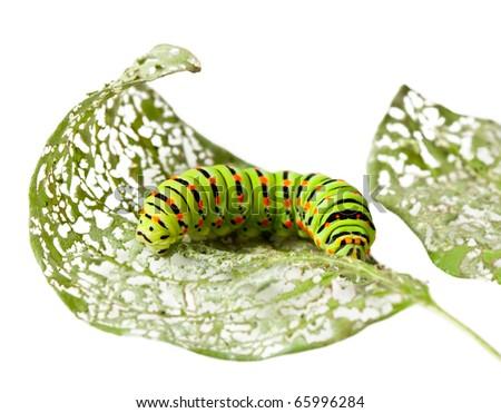 Macro of caterpillar on damaged leaf isolated on white - stock photo