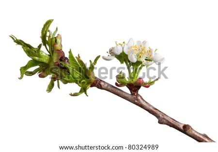Macro of cherry blossoms at spring isolated on white - stock photo