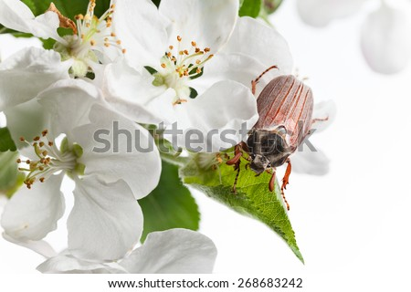 Macro of Cockchafer beetle (Cotinis nitida) in blooming apple isolated on black  - stock photo