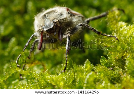 Macro of cockchafer bug (Melolontha melolontha) en face against green moss background  - stock photo