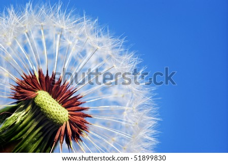 Macro of dandelion. Nature composition. - stock photo