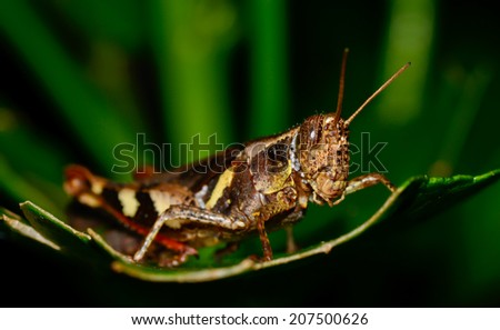 macro of dark brown and yellow grasshopper standing on green leaf ; selective focus at eyes with green black blur background - stock photo