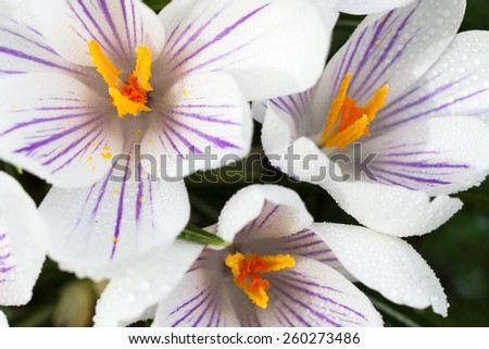 Macro of dew on three white crocus - stock photo