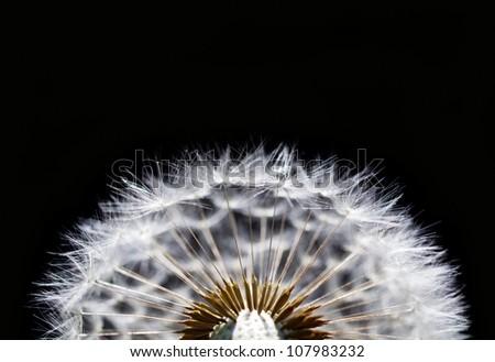macro of dry dandelion on black background - stock photo