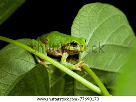 Macro of European tree frog (Hyla arborea) at night in natural environment