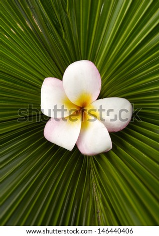 Macro of frangipani flowers and palm leaf texture - stock photo