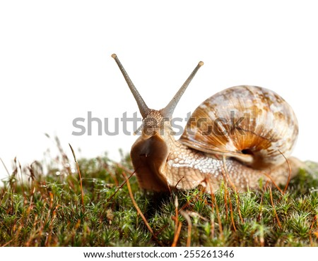 Macro of garden snail (Helix pomatia) stare from green moss, low angel view isolated on white - stock photo