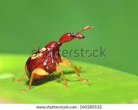 Macro of giraffe weevil - stock photo