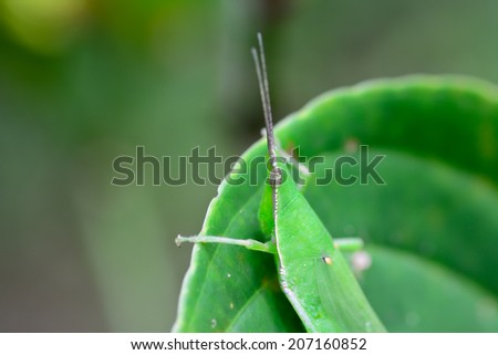 macro of grasshopper hanging on green leaf ; selective focus at eyes  with  blur background - stock photo