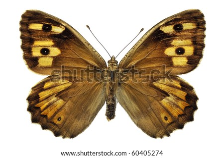 Macro of Grayling butterfly (Hipparchia semele) isolated on white background - stock photo