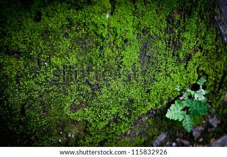 Macro of green moss in nature - stock photo