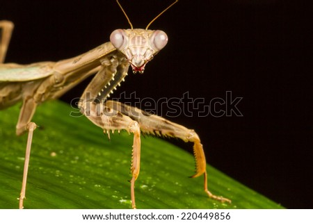 Macro of Griffin Mantis (Polyspilota griffinii) staring at the camera - stock photo