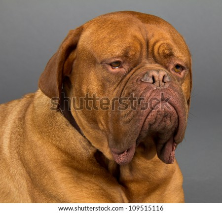 Macro of head of Dogue De Bordeaux dog with huge jowls and sad eyes.