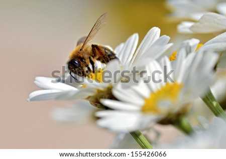 Macro of honey bee (Apis) feeding on white anthemis flower - stock photo