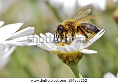 Macro of honey bee (Apis) feeding on white anthemis flower - stock photo