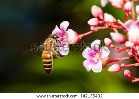 Macro of honey bee on pink Carambola flower - stock photo